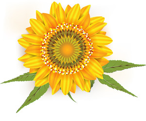 Sun Flower Vector Element