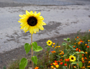 Sunflower And Wildflowers