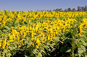 Sunflowers Farming