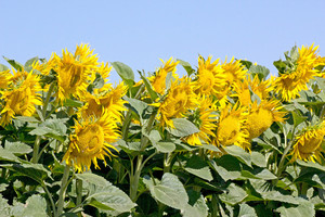 Sunflowers Plants Background