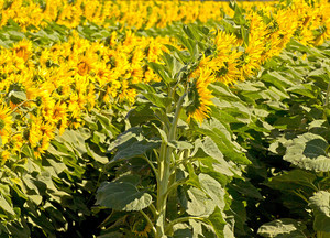 Sunflowers Plants