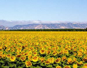 Sunflowers Valley