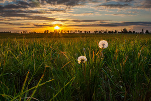 Sunset over beautiful meadow with dry dandelions