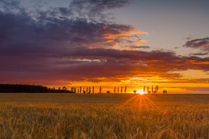 Sunset over cereal field with grown up ears. Beautiful rural countryside landscape.