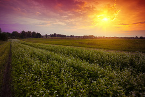 Sunset over countryside with blooming buckwheat field