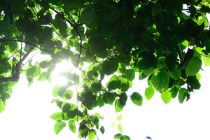 Sunshine Behind Leaves
