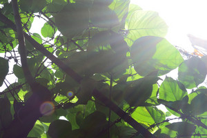 Sunshine_on_leaves_and_barbed_wire