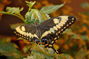 Swallowtail Butterfly On Leaf