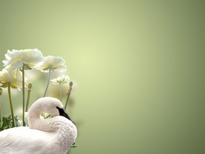 Swan And White Roses Background