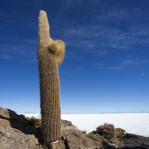 Tall cactus growing under a blue sky