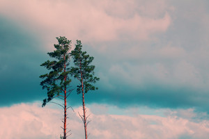 Tall pine trees against the cloudy sky