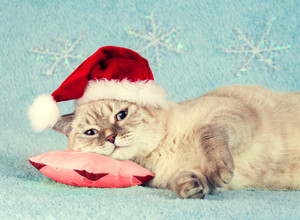 Thai breed kitten wearing a Santa hat lay on a small pillow