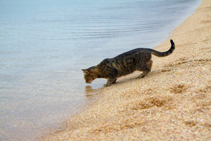 The cat drinks water from the sea to the beach