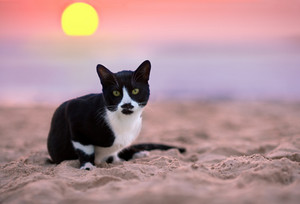 The cat is sitting on the beach at sunset