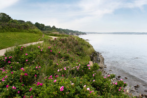 The coast of Newport Rhode Island near the historic 40 steps on the cliff walk.  Rugosa roses are scattered across the shore line.