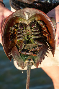 The under belly of a horseshoe crab revealing the legs and inner parts of the animal.