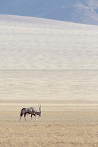 Thomson's gazelle grazing on a vast savanna