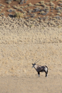 Thomson's gazelle standing on a dry plain