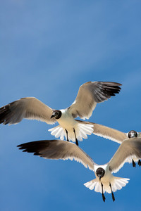 Three Caribbean seagulls flying over a  blue sky.