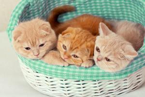 Three cute little kitten sitting in a basket