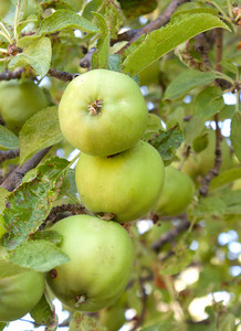 Three Green Apples On Tree