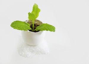 Tiny Mint Plant