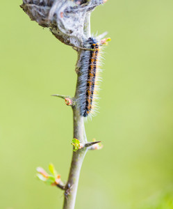 Tree attacked by caterpillars. Close up of worms on tree.