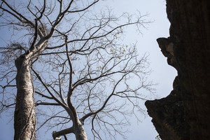 Tree on blue sky with old castle Ta Phrom. Cambodia
