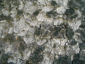 Tree_bark_texture_background