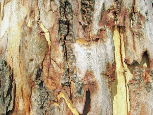 Tree_fresh_bark