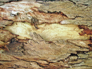 Tree_skin_background