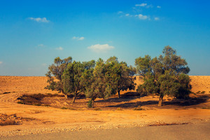 Trees in Judean desert