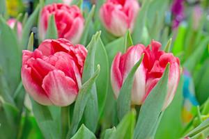 Tulip Flowers 226
