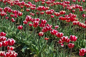 Tulip Flowers Garden