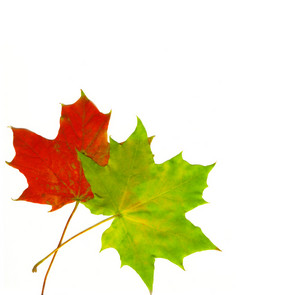 Two Beautiful Autumn Leaves In The Corner