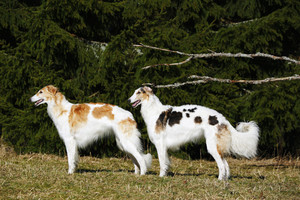 two Borzoi sight hounds