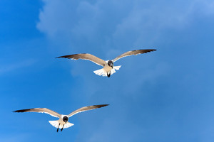 Two Caribbean seagulls flying over a  blue sky.