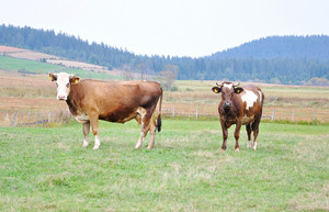 Two cows on green ground