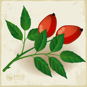 Two Dog Rose Berry With Leaves. Vector.
