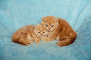 Two little kitten on blue blanket