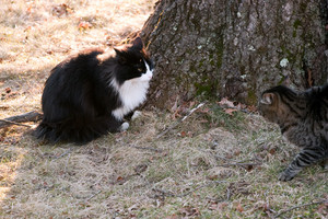 Two outdoor cats staring each other down while having a territorial confrontation.