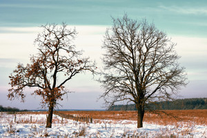 Two trees in the snowy field