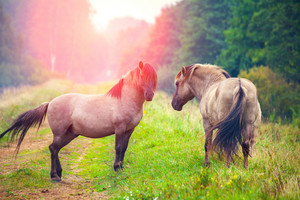 Two wild horses on the meadow at sunset