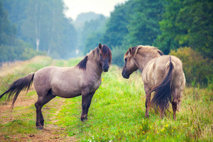 Two wild horses on the meadow