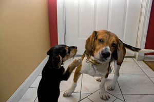 Two young dogs play fighting indoors. The puppy is going for the beagles ears.
