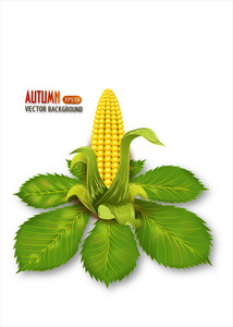 Vector Autumn Background With Corn