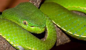 Venomous Green Viper