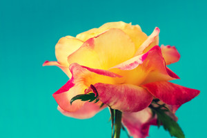 Viintge colorful rose against blue background