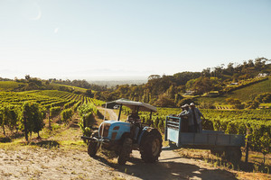 Vineyard workers transporting fresh harvest to wine factory through a tractor trailer. Grape picker truck transporting grapes from vineyard to wine manufacturer.