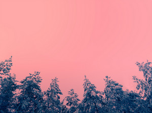 Vintage background with pine trees covered with snow against pink sky